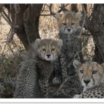 cheetahfamily