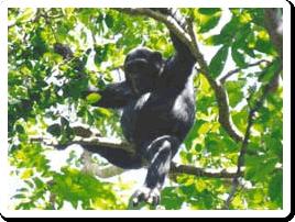 chimpmahale