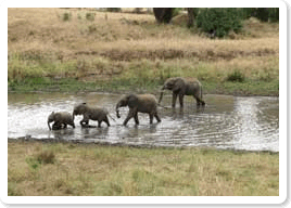 Elephants at Tarangire River