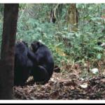 gombe_chimps