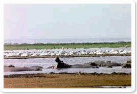 Lake Manyara shoreline with Hippo